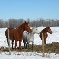 Horses on my Uncle Ronald Hanson's farm --- Kent Limousines ... this is actually looking at the Canadian border near where I grew up.